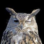 owl-1793119_640