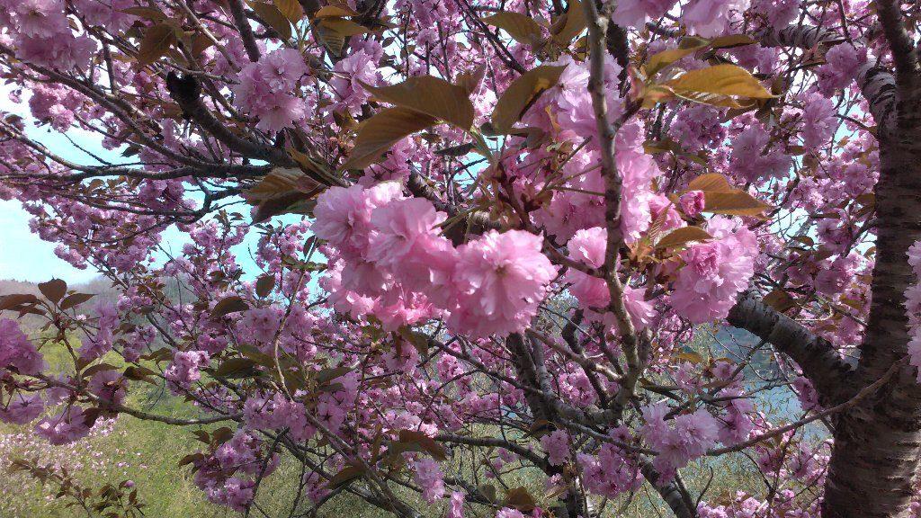 八重桜。アップ