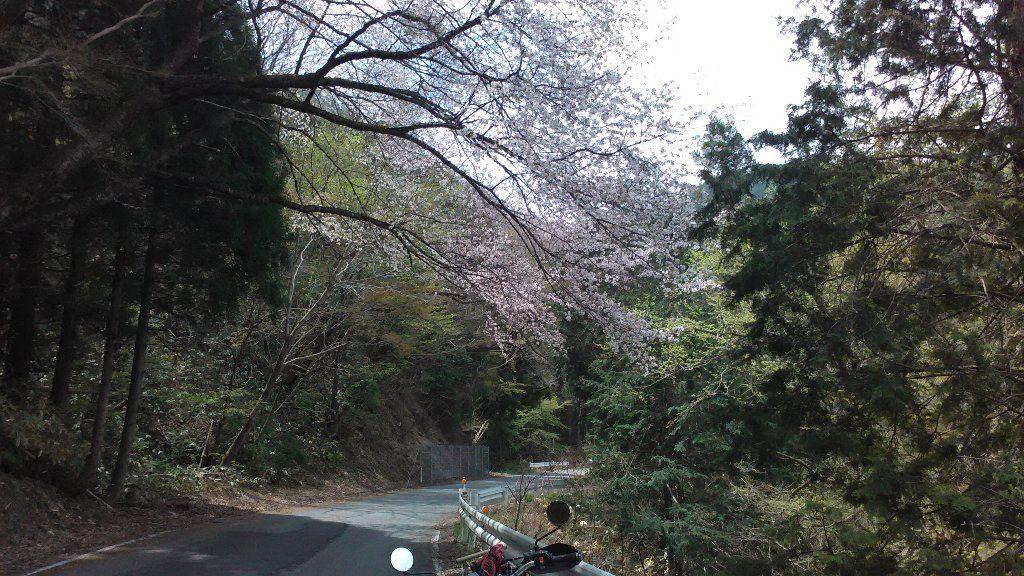 桜。小童谷