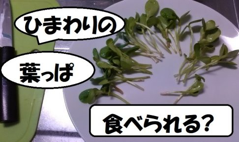 sunflower ひまわりの葉っぱ。2018-04-30eyecatch
