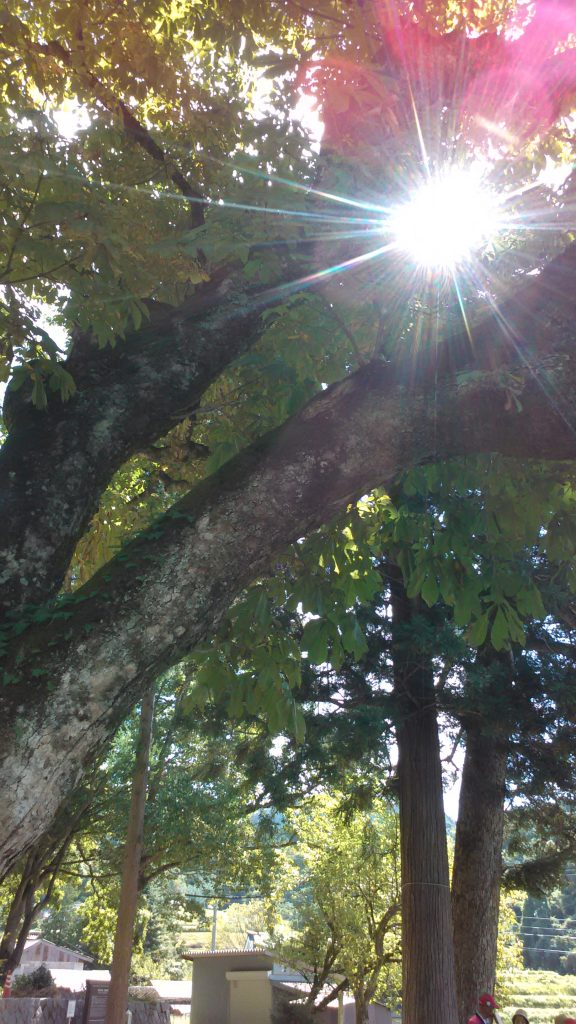 栃の木。木漏れ日