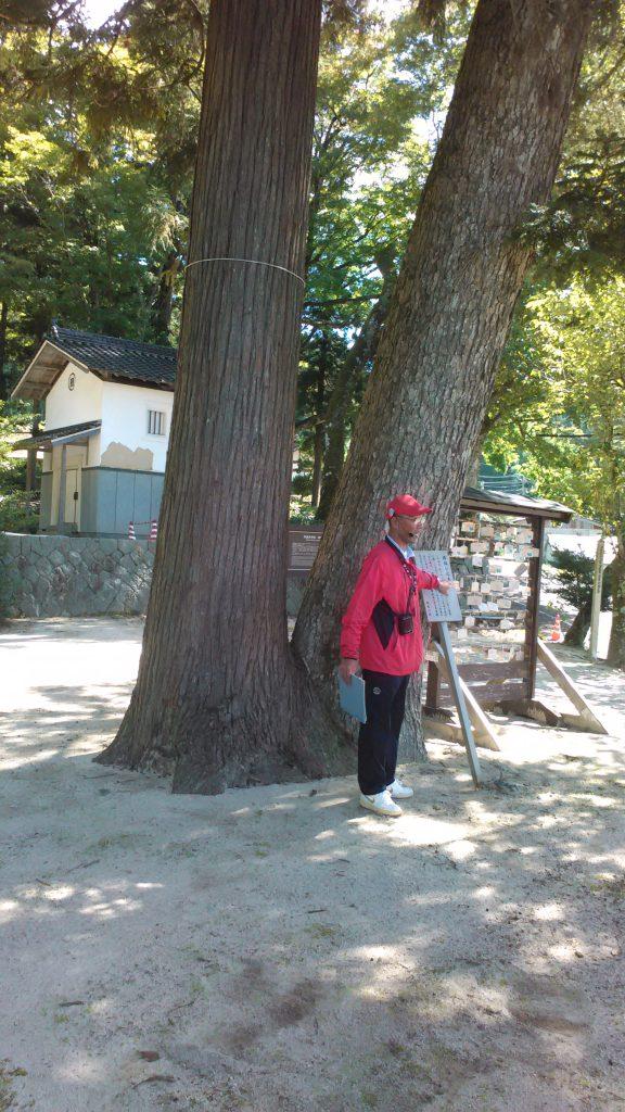 縁結びの木。杉×樅の木