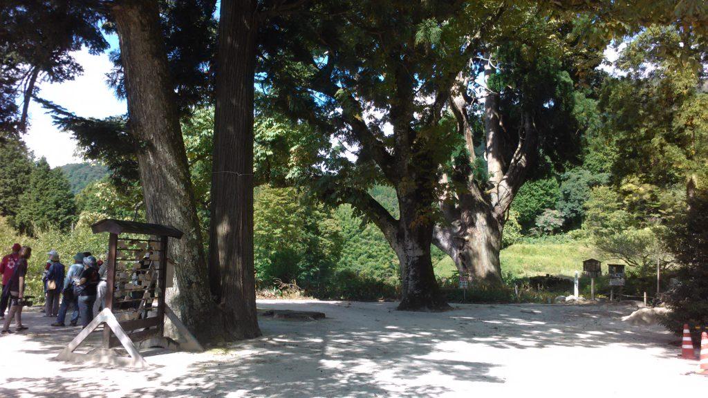縁結びの木。栃の木。大杉