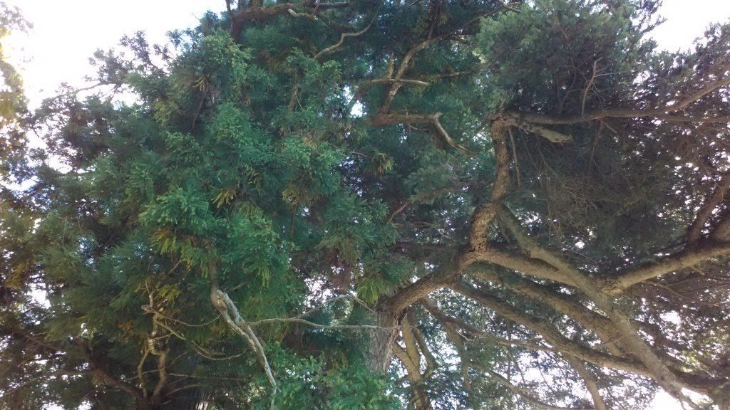 縁結びの木。樹上