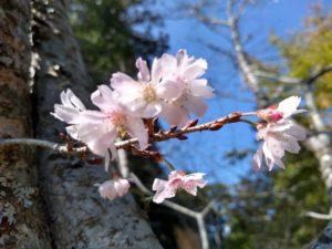 jugatuzakura 十月桜