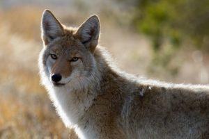 coyote-1480717_640