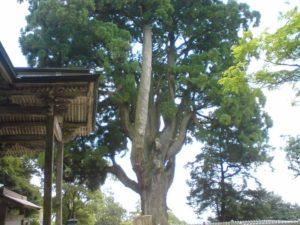 二上杉。木