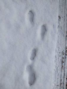 footprint hare ウサギの足跡