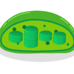chloroplasts-g286bd65ab_640